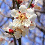 1024px-Prunus_mume